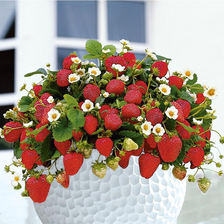 Hrnkové jahody, sada 200 semínek